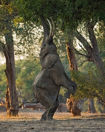 Bull elephant carefully balancing to reach food high above in Zimbabwe
