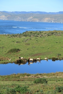 Bull elk and the California coastline at Pt Reyes Shot yesterday