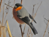 Bull Finch Photo credit to Gary Black