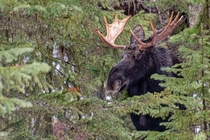 Bull Moose from Lolo Pass Montana