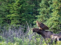 Bull Moose Photo credit to ujazzyruss