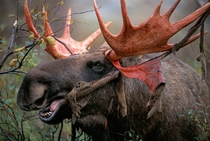Bull moose shedding velvet
