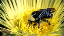 Bumble BeeBombus soaking itself in pollen