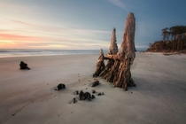 Buried driftwood is illuminated by the morning sunlight - along the coast of Hunting Island South Carolina