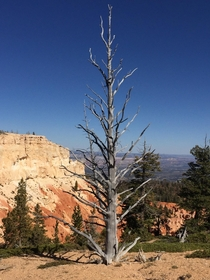 Burnt remains of a  year old Bristle Cone Pine Tree at the top of Bryce Canyon