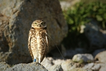 Burrowing Owl Athene cunicularia with bands and a radio tracking collar SE Farallon Island CA
