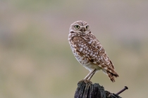 Burrowing Owl posting up on a well post