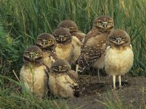 Burrowing Owls in the Sonora Desert