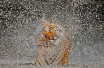 Busaba the Indochinese Tigress National Geographic  st place photo