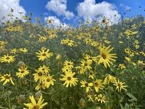 Bush Sunflowers Encelia californica blooming on a hill