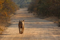 Bush traffic in Kafue NP Zambia Lone lioness - Panthera Leo