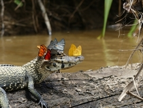 Butterflies and Caiman by Mark Cowan