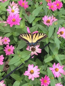Butterfly having lunch Brooklyn Botanical Gardens