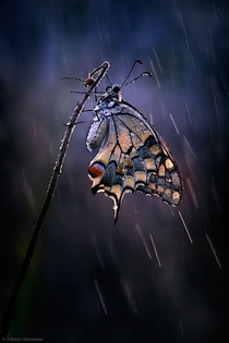 Butterfly in the rain unknown Photo by Antonio Grambone  x-post rawwducational