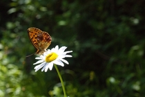 Butterfly on a chamomile