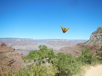 Butterfly over the Grand Canyon