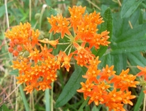 Butterfly weed Asclepias tuberosa