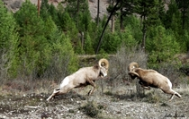 Butting Heads Rocky Mountain Big Horn Sheep - Ovis canadensis - doing battle