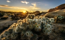 Cacti in the Joshua Tree National Park California  Photo by Truyen Nguyen