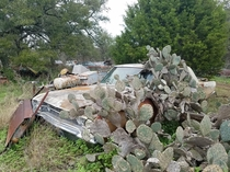 Cacti taking over an abandoned Dodge Dart near Austin