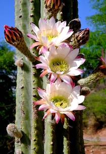 Cactus Blossomed