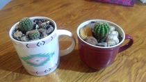 Cactuses in cups