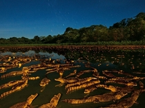 Caimans at Night Brazil