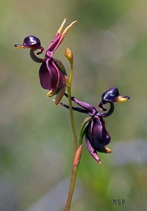 Caleana major Flying Duck Orchid