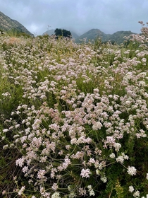 California Buckwheat  Eriogonum fasciculatum flowering everywhere in the San Gabriel Mountains