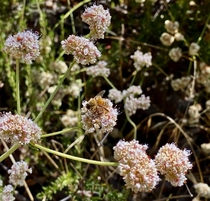 California Buckwheat  Eriogonum fasciculatum with a visitor