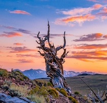 California Dreaming on a Winters Day Ancient Bristlecone Pine