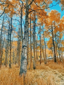 California Gold Fall - Bishop California  x
