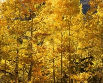 California Golden Aspens Bishop Creek