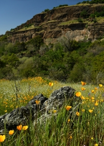 California Golden Poppies growing inside the canyon of the Stanislaus River  seanaimages