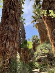 California Palms The Living Desert Zoo and Gardens CA