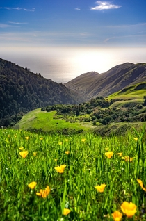 California poppies along Californias Big Sur coast
