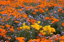 California Poppies and Baby Blue Eyes