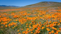 California Poppies are out in full force with the super-bloom Antelope Valley CA