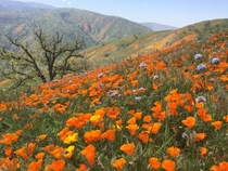 California Poppies at Tejon Ranch CA elevation  feet