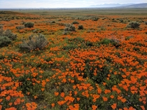 California Poppies blooming Antelope Valley Poppy Reserve CA