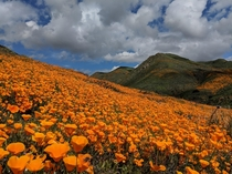 California Poppies near Lake Elsinore