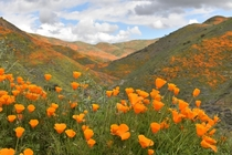 California Poppies   x