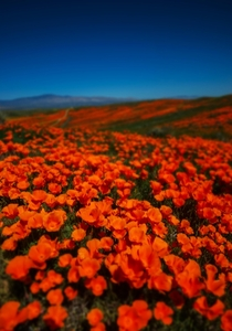 California Poppys at full bloom in Antelope valley
