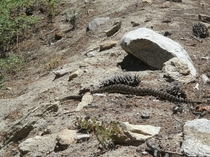 California Rattlesnake for scale that sugar pine cone is about  long