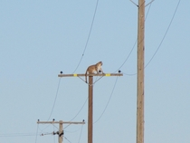California USA A mountain lion climbed up a -foot-high wooden power pole Tuesday
