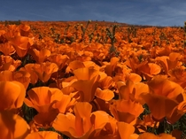 Californias wet winter has led to an incredible Super Bloom