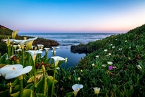 Calla lilies on the cliff of Santa Cruz CA