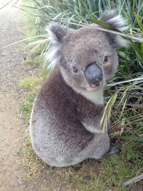 Called the koala rescue service for this seemingly confused lil guy