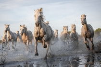 Camargue Horses  photo by Ruti Alon