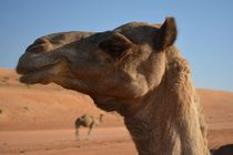 Camels at Wahiba Sands Oman
